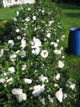 Kvetoucí živý plot